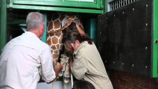 Giraffe Birth In GT