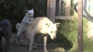 Big Dog Little Dog Hump