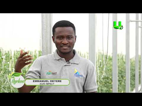 AYEKOO:  Deepening Greenhouse Technology In Ghana - PART 2