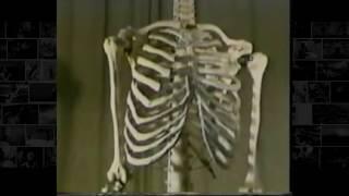 Из каких костей состоит скелет человека, детальный рассказ