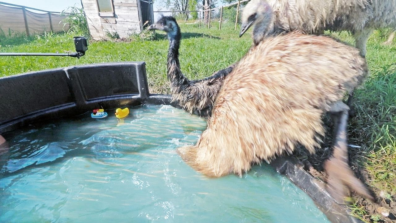 you CAN'T make an emu swim in the pool