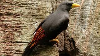 Download Langsung nyaut!!! Masteran Burung Jalak Rio   super efektif bikin Burung Jalak Rio gacor dan ngeplon Mp3