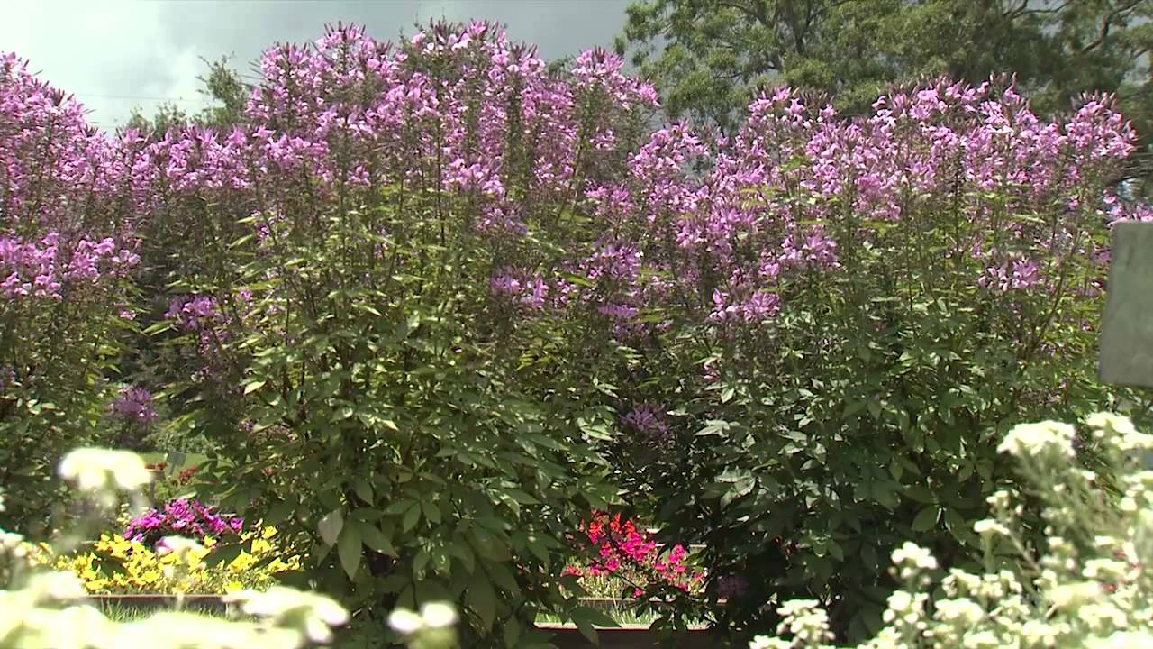 Cleome - Southern Gardening TV - July 3, 2013 - YouTube