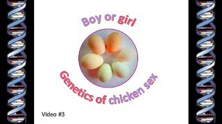 Genetics of chicken sex - What makes a chicken male or female?