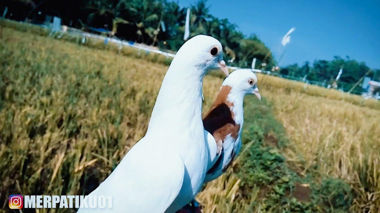 UNBESEK CALON BURUNG MERPATI FREE FLY