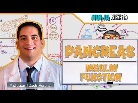 Endocrinology | Pancreas: Insulin Function