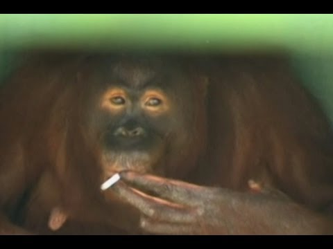 Smoking Monkey Forced to Quit