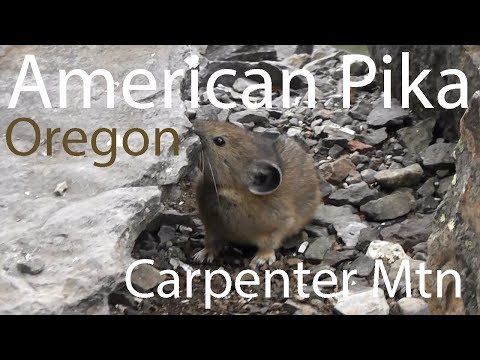 American Pika (Ochotona princeps) Salt Lick, Carpenter Mtn, Oregon, USA