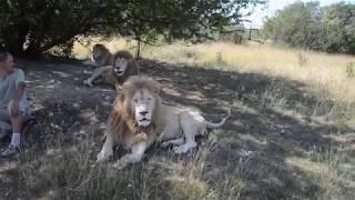 Лев Симба стал приходить к остальным львам ! Фото с белыми львами !