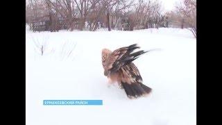 Семья из Башкирии приютила самого крупного орла – беркута