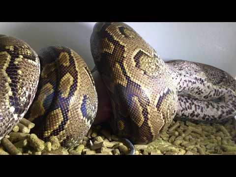African Rock Python eats Pig