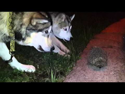 Впервые встреча хаски и маламута с ночным хищником/ First meeting with night carnivore