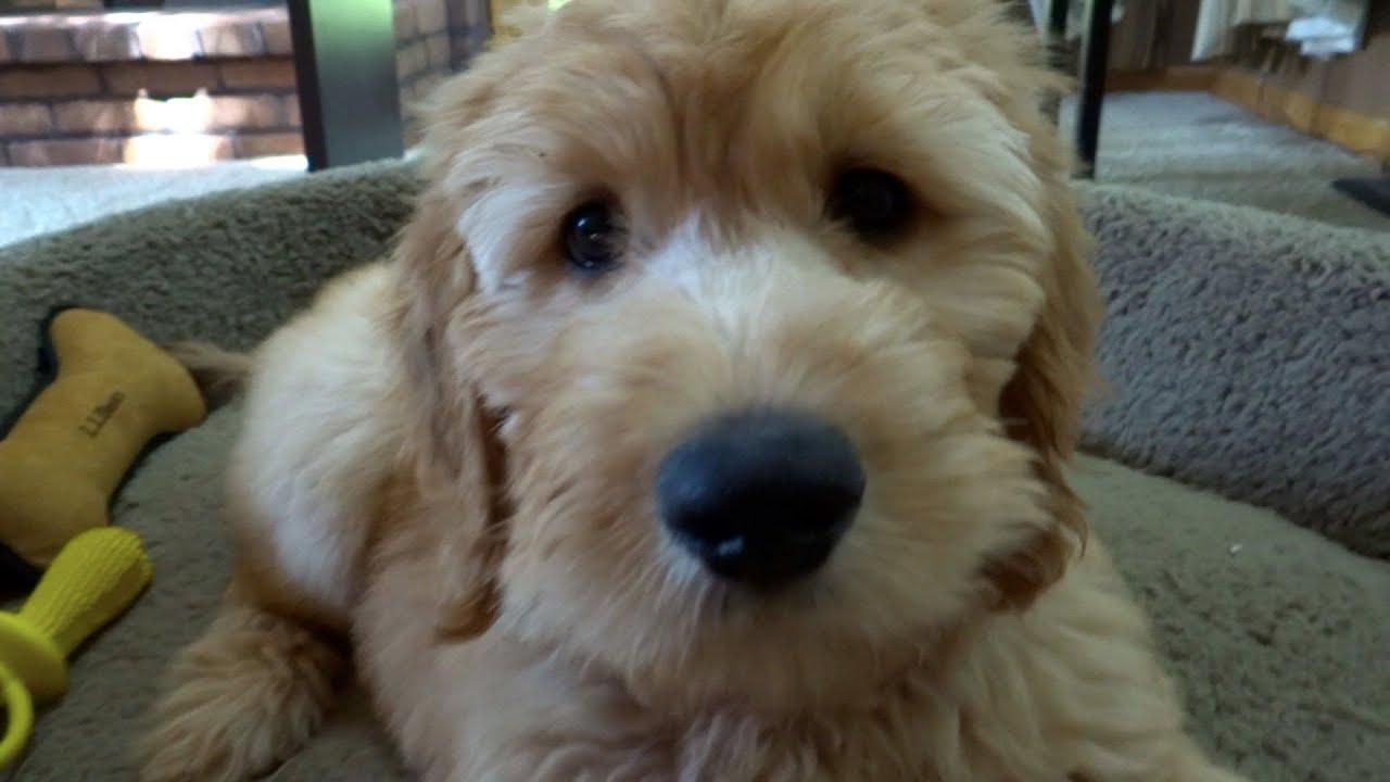 Goldendoodle puppy at 10 weeks funnydog tv for Internotes r web retriever