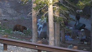 Bear came to Oขr Campsite - Inyo National Forest California