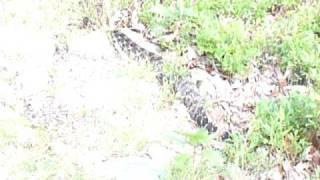 Delaware Water Gap  N.j.  Timber  Rattlesnake
