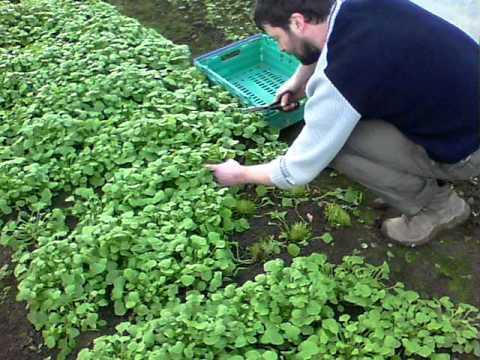 Fresh Organic Salad Galway Jan 2012 - Green Earth Organics