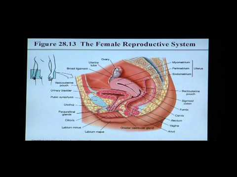 Anatomy and Physiology Help: Chapter 28 Reproductive System