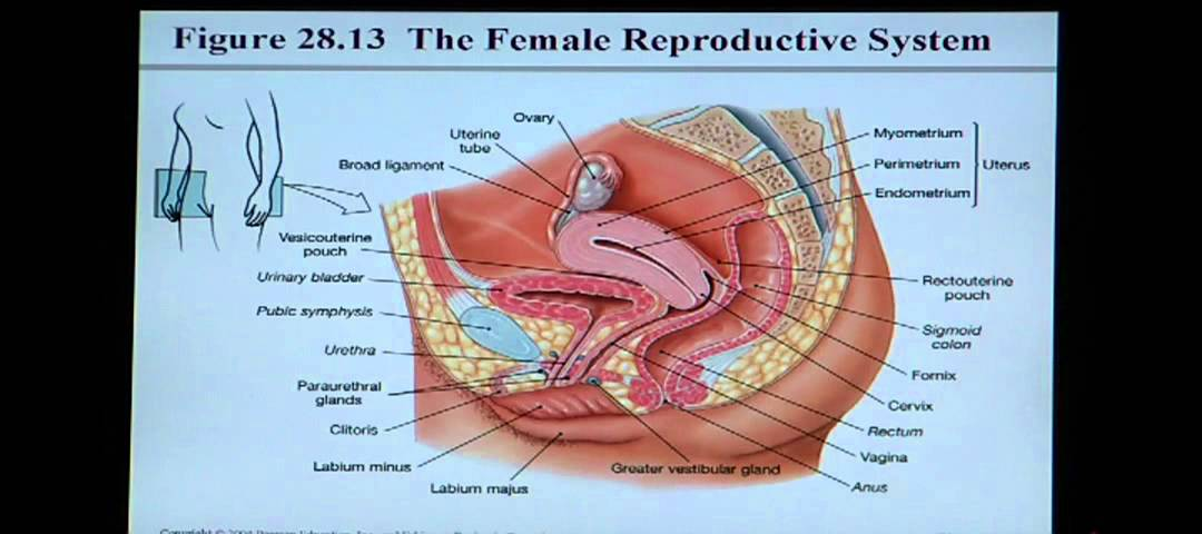 Anatomy and Physiology Help: Chapter 28 Reproductive System - YouTube