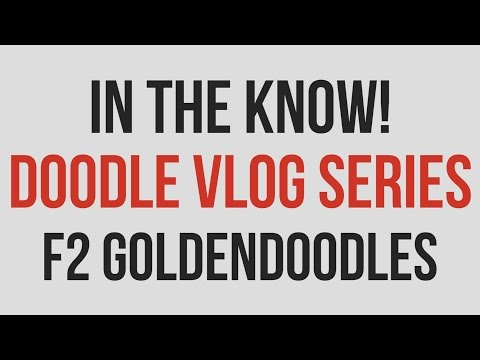 In the Know - F2 Goldendoodles