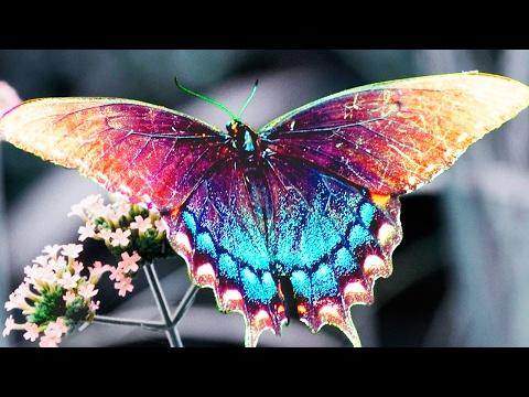 Как называется черная бабочка