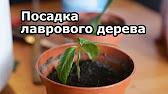 Растения, лекарственные растения, декоративные растения, купить. Фикус бенджамина неприхотливое в уходе растение, украсит любой интерьер.
