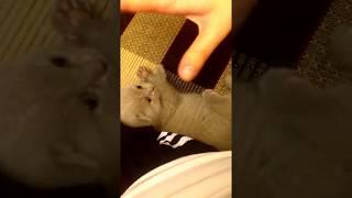 Британский вислоухий котенок мило играет с Хозяйкой))))