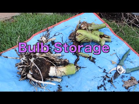 Storing Bulbs for Winter - Elephant Ear Colocasia Esculenta, Spider Lily and Caladium