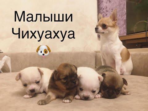 В гостях у питомника ! Чихуахуа щенки !