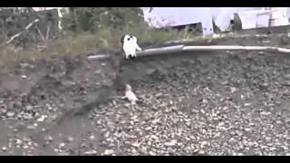 Видео Кошка спасла котенка вытащив из ямы