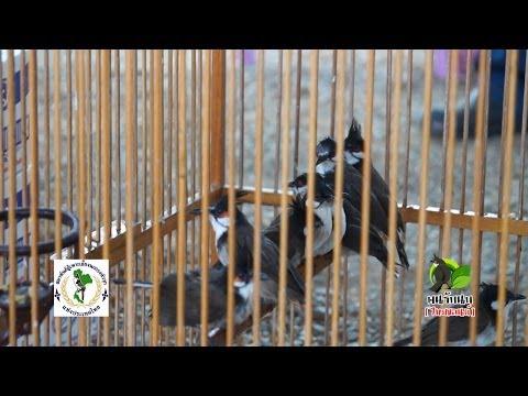 การขออนุญาตเพาะพันธ์สัตว์ป่าคุ้มครองประเภทนก นกกรงหัวจุก นกกางเขนดง OA 16 Feb 2014