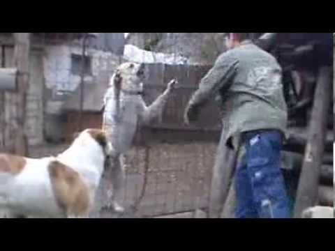 Central Asian Shepherd Dog fights Man defending – TEST 45. – Leo