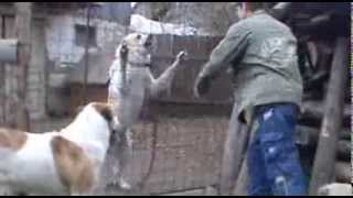 Dog fights Man defending 40. - Central Asian shepherd