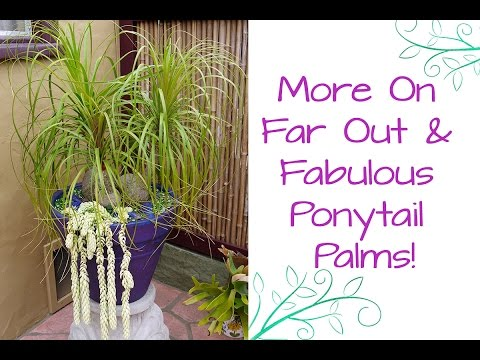 More On Far Out & Fabulous Ponytail Palms!