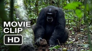 Chimpanzee Movie CLIP - Tools (2012) Disney Nature Movie HD