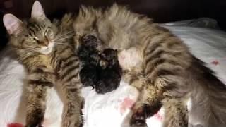 МЕЙН КУН  КОШКА РОЖАЕТ 😻 НОВОРОЖДЕННЫЕ КОТЯТА МЯУКАЮТ CATS MAIN COON  KITTENS МИЛЫЕ КОТИКИ