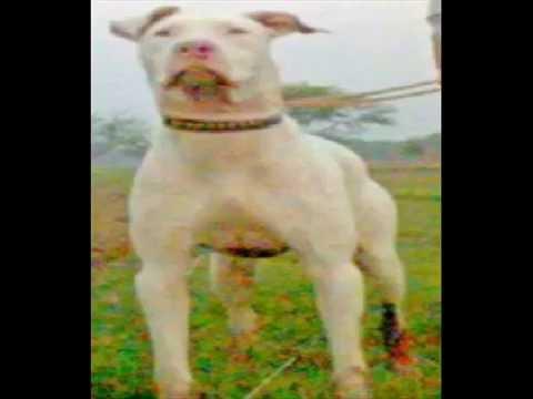 working old tyme hinks bull terrier gull terr or gultair