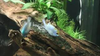 Mikrogeophagus Ramirezi - Electric Blue beim Laichen