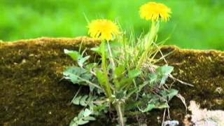 dandelions how to keep them under control naturally