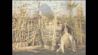 Springer Spaniel Inglese   Hunting Waterfowl Dogs   1