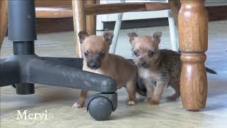 Mervin Yoder's Toy Terrier Mix Puppies