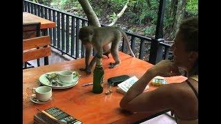 Наглая тайская обезьяна ворует у туристки завтрак