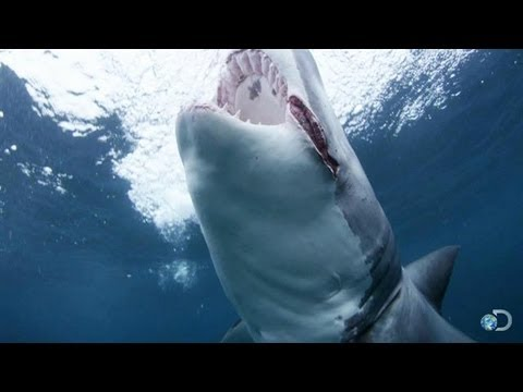 Meet 'Slash' the Shark   Shark Week