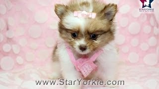 Micro Teacup Pomeranian Puppy In Los Angeles Micro Mini By Staryorkie.com