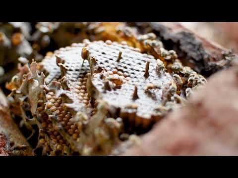 Cuidar las abejas mayas