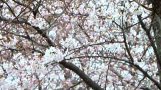 2011 岩脇公園さくらまつり