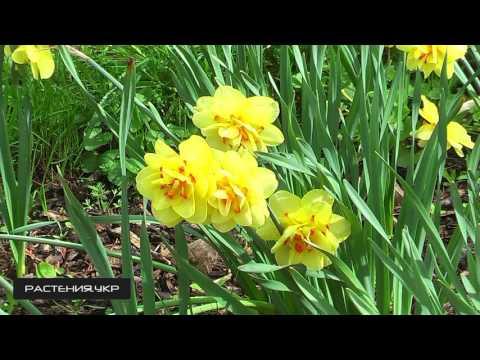 Нарциссы домашние, садовые, в горшке Фото, уход, посадка