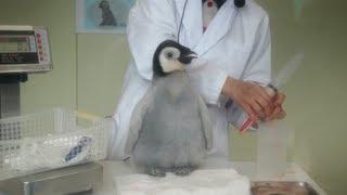 アドベンチャーワールドのエンペラーペンギンの赤ちゃんです。2011年10...