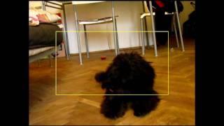 Siedmiomiesięczny Gafi I Nauka Sztuczek Szkolenie Dog Tricks Miniature Schnauzer