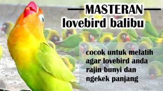 Download lagu Masteran Lovebird Balibu Durasi Panjang