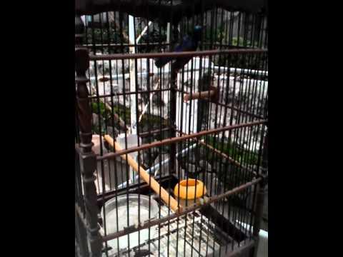 Kolibri Manggar Gacor Nembak